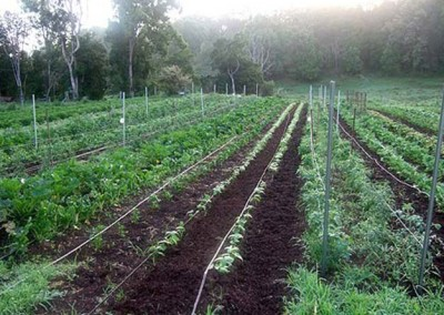 Organic cultivation at ISKCON New Govardhana, NSW, Australia